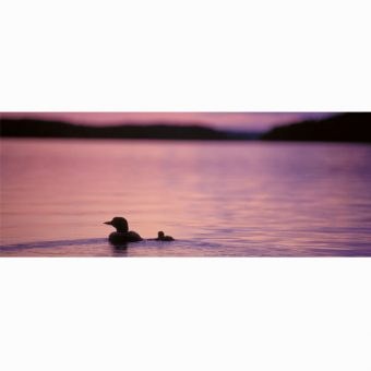 loon-and-loonling-panorama-card_shop