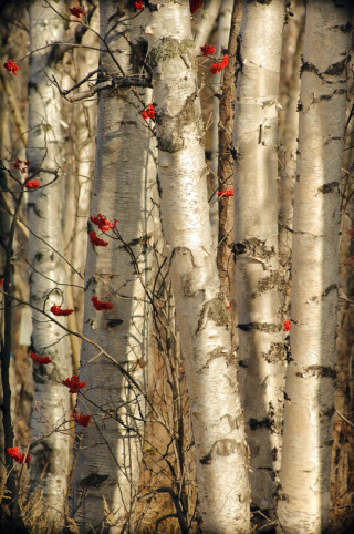 Birch with Red
