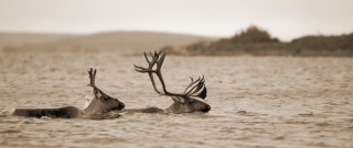 Swimming Caribou