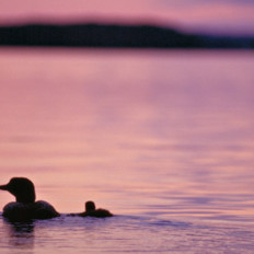 Loon And Loonling