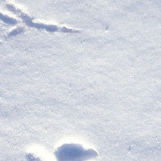 Raven and Wolf Tracks