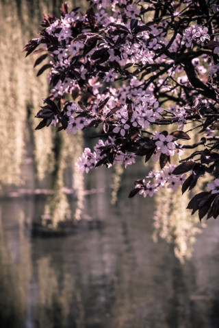 Weeping Willow and Flowers