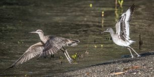 Whimbrel & Willet