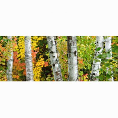 color-filled-birch-panorama-card_shop