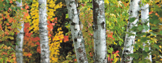 Color Filled Birch